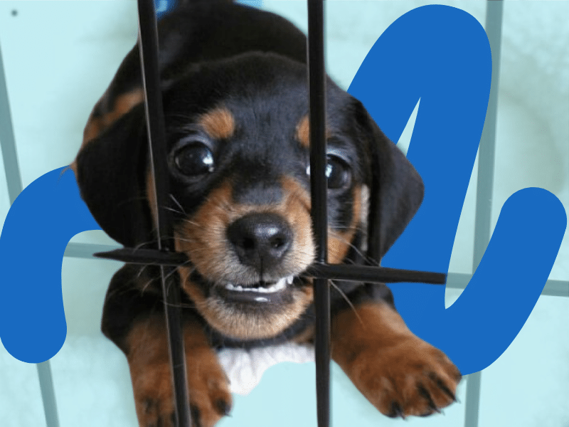 Puppy Chewing Crate Training